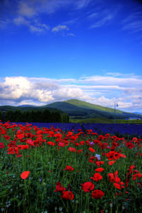 red and purple flowers, Furano, Hokkaido Island, Japan